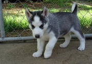 charming siberian husky puppies for sale